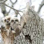 fuzzy-baby-owls