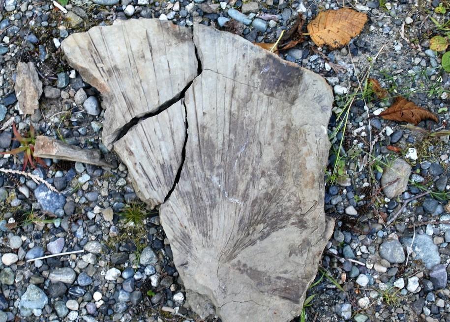 PalmFanFossil